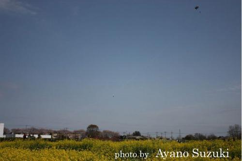 菜の花畑にてカイト撮影