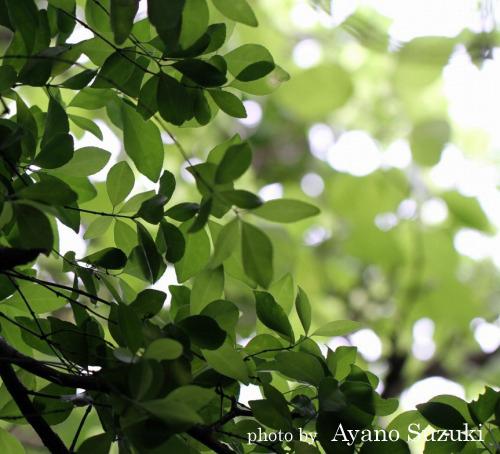日に透ける木々 小笠原母島