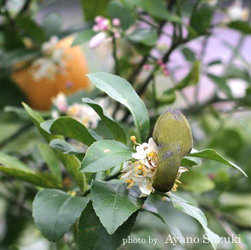 メジロ レモンの花 小笠原母島