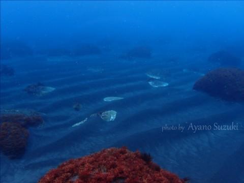 御蔵島の海底 砂紋