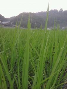 稲の葉先に輝く水滴