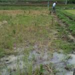 自然農の田