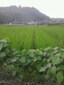 盛夏:夕暮れの田にて