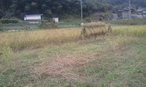 束ねて、運んで、稲架に掛ける